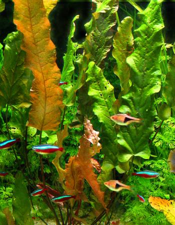 Barclaja longifolia, neonki czerwone, razbora klinowa – to doskonale dopasowanie kolorystyczne rośliny i ryb stanowiące wspaniałą kompozycje.